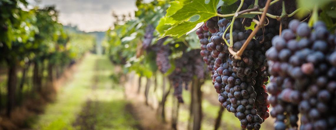 Blog 1 Hamewith - druivenranken - groei in seizoenen